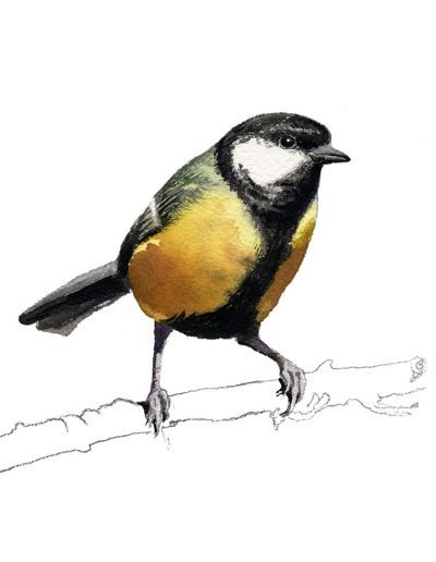 Carbonero común / Great tit /Parus major – Acuarela / watercolour – © Lucía Gómez Serra