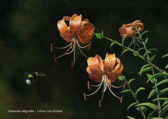 Azucena atigrada / Lilium lancifolium – Óleo /oil painting – © Lucía Gómez Serra
