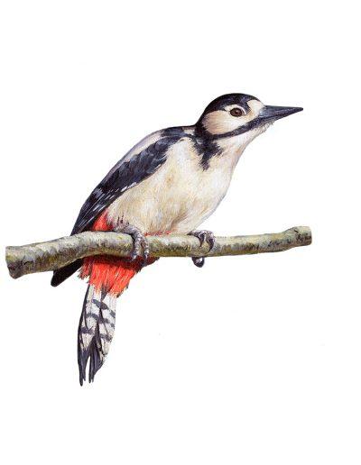Pico picapinos hembra / Great spotted woodpecker / Dendrocopos major – Acrílico / acrylics © Lucía Gómez Serra