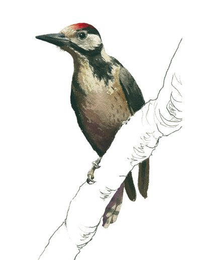 Pico picapinos / Great spotted woodpecker / Dendrocopos major – Acuarela / Watercolour – © Lucía Gómez Serra