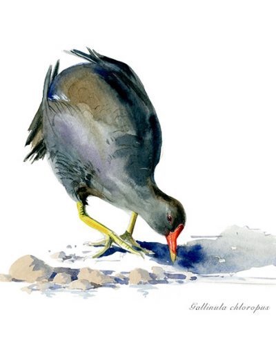 Gallineta común / Common moorthen / Gallinula chloropus – Acuarela / Watercolour – © Lucía Gómez Serra