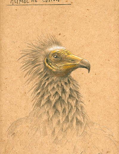 Alimoche común / Egyptian vulture / Neophron percnopterus – Grafito / graphite – 24 x 38 cm – © Lucía Gómez Serra