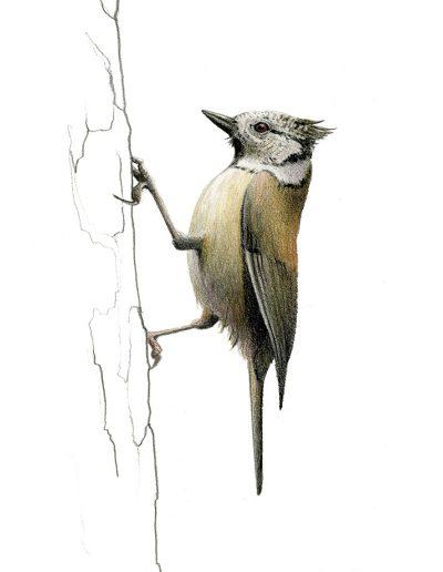 Herrerillo capuchino / Crested tit / Lophophanes cristatus – Lápices de colores / colour pencils – © Lucía Gómez Serra