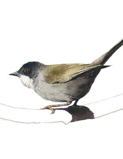 Curruca cabecinegra / Sardinian warbler / Sylvia melanocephala – Acuarela / Watercolour – © Lucía Gómez Serra