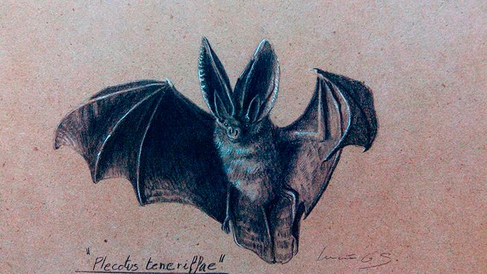 Murciélago orejudo canario / Canary big-eared bat / Plecotus teneriffae – Grafito / graphite – 24 x 38 cm – © Lucía Gómez Serra