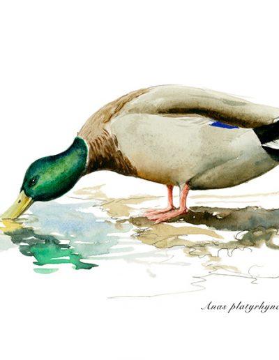Ánade real o azulón / Mallard /Anas platyrhynchos - Acuarela / Watercolour – © Lucía Gómez Serra