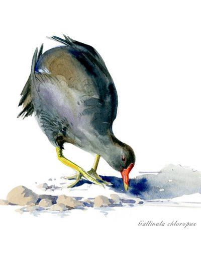 Gallineta común / Common moorthen /Gallinula choropus – Acuarela / Watercolour – © Lucía Gómez Serra